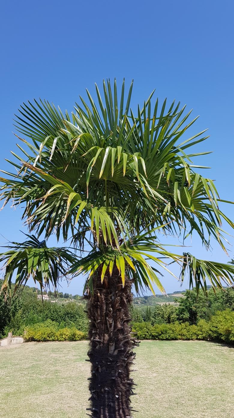 palma-nebo